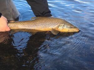 Brown Trout Iceland
